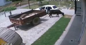 كيف تسرق بقرة بواسطة سيارة
