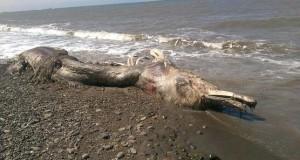 حيوان بحري غريب يثير حيرة العلماء الروس