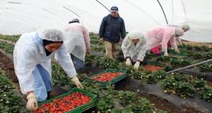 منتجو الفراولة الإسبان يطالبون حكومتهم بجلب 5 آلاف عاملة مغربية إضافية هذا الموسم