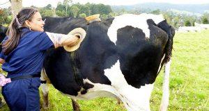 لماذا يضع المزارعون ثقوباً كبيرةً في كروش الأبقار؟