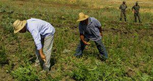من هم المستفيدون الفعليون من زراعة وتهريب الحشيش في المغرب..؟!