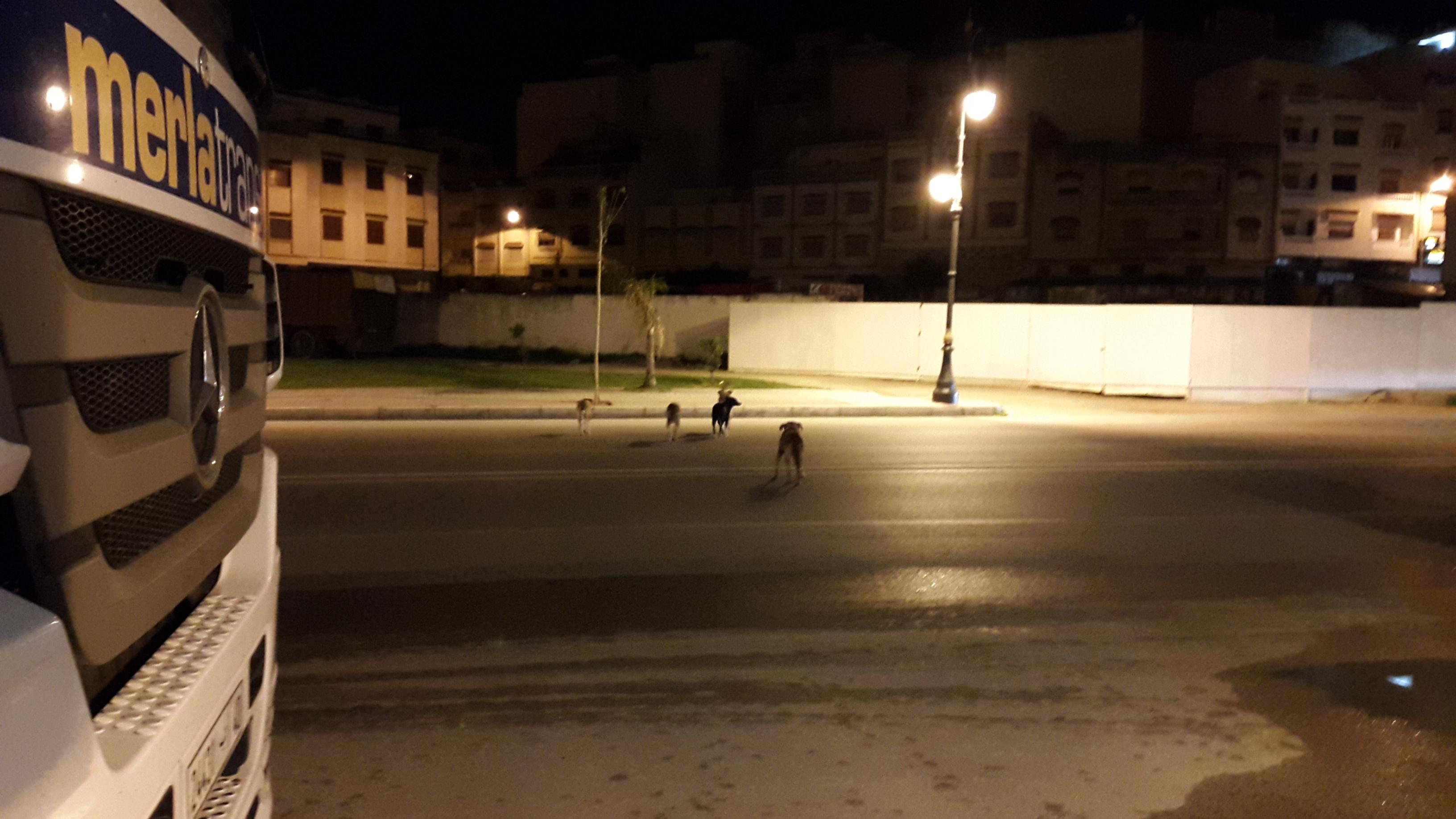 انتشار مثير للكلاب الضالة في طنجة..