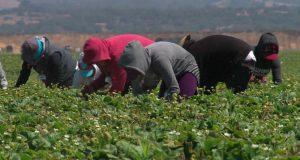 هكذا يتم استعباد العاملات المغربيات بحقول الفراولة بإسبانيا