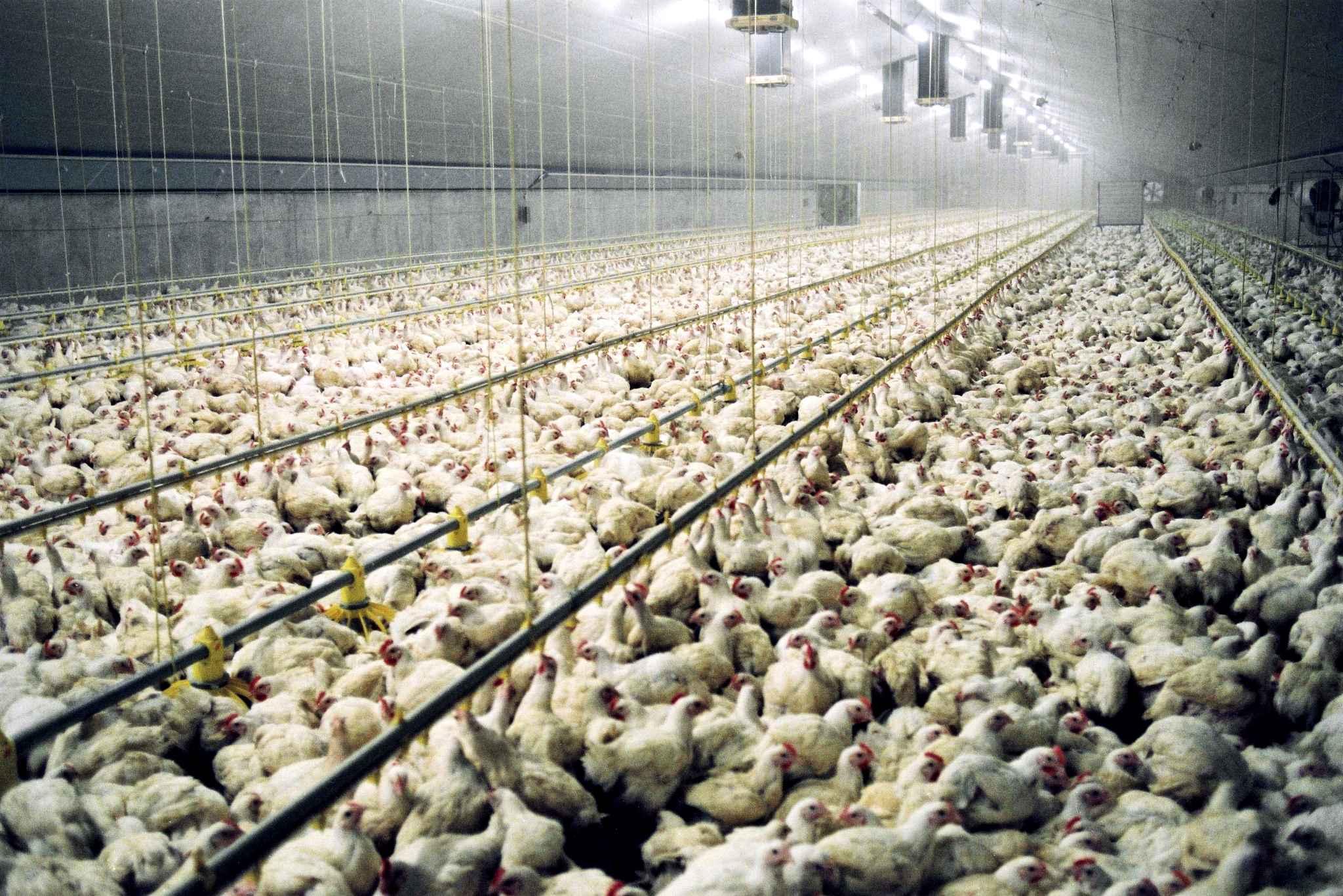 """حتى لو كان """"حلال"""" فعلا.. هل المغرب في حاجة لاستيراد الدجاج الامريكي..؟؟"""