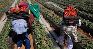 العاملات المغربيات بحقول الفراولة بإسبانيا يحطمن الرقم القياسي في الحْريك الجماعي! !