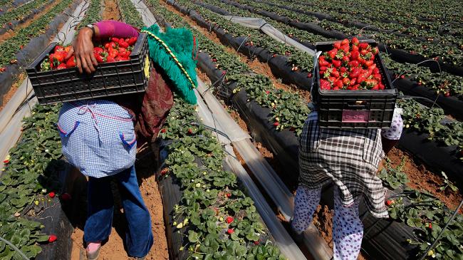 """إسبانيا تفتح حقول """"الفراولة"""" أمام العاملات المغربيات.. والامتياز لـ""""المعاودات"""""""
