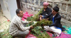 القات اليمني مثل الحشيش المغربي.. يهلك الماء والنسل.. !