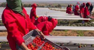 نساء الفراولة في إسبانيا بين الجنْي والتحرش