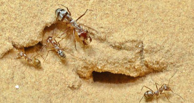 أسرع نملة في العالم.. تونسية