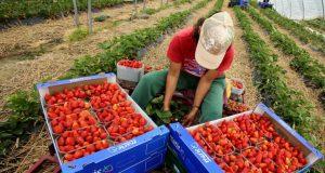 إسبانيا تطلب 20 ألف يد عاملة مغربية لجني الفراولة