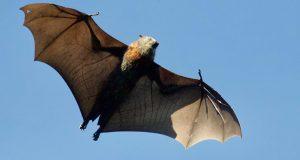الخفافيش.. أكبر حاملات الفيروسات القاتلة في العالم