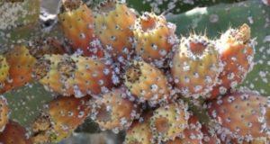 """""""فيروس أبيض"""" خطير يصيب نبات الصبار بتطوان وطنجة"""