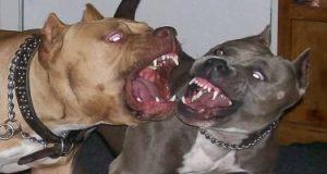"""كلاب """"البيتبول"""" مستمرة في العربدة.. ومنعها مجرد خدعة"""
