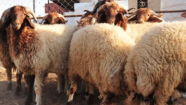 مع اقتراب العيد: القطيع المغربي بخير