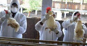 الصين تعلق استيراد الدواجن من فرنسا بسبب أنفلونزا الطيور
