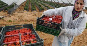 تأجيل سفر مئات العاملات المغربيات إلى حقول الفراولة الإسبانية